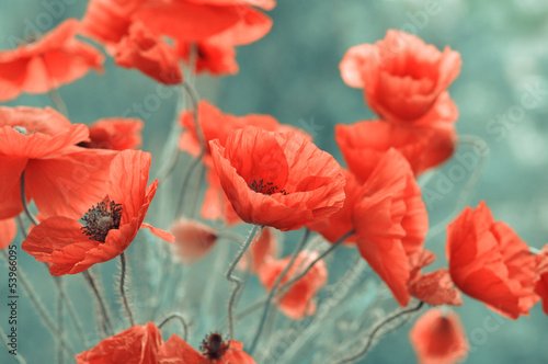 Red Poppy Flowers Stock Photo And Royalty Free Images On Fotolia