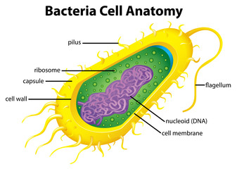 Bacteria cell structure