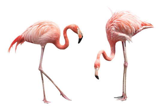 Two flamingo