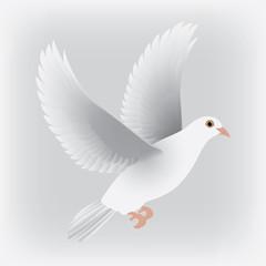 white dove isolated vector