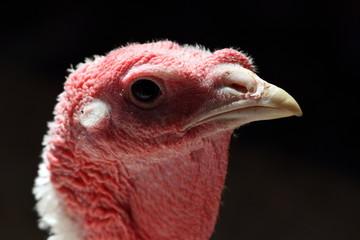 backlit portrait of a turkey hen