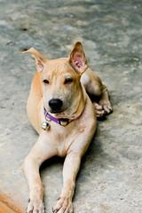 dog thai