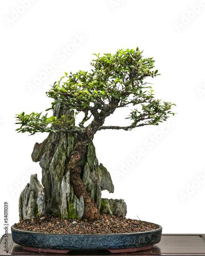 bonsai baum ulme zelkove nire w chst ber einen stein stockfotos und lizenzfreie bilder auf. Black Bedroom Furniture Sets. Home Design Ideas