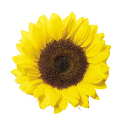 sunflower head Isolated on white with cliping path