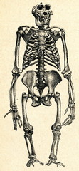 Skeleton of gorilla