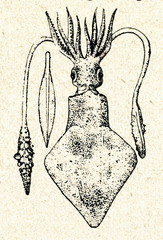 European squid (Loligo vulgaris)