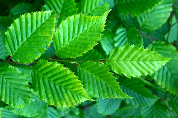 Hazel tree branch with green list
