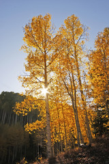 Wall Mural - Aspen trees with fall color, San Juan National Forest, Colorado