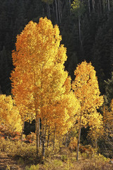 Fototapete - Aspen trees with fall color, San Juan National Forest, Colorado