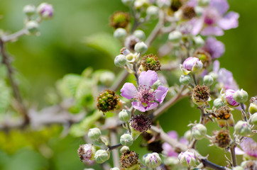 Blackberry branch with pink flowers