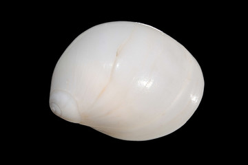 Dorsal view of a shell of Caribbean Milk Moon