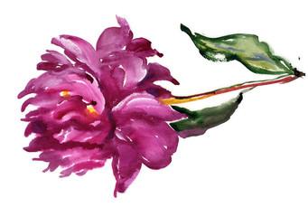 Watercolor dark pink peony
