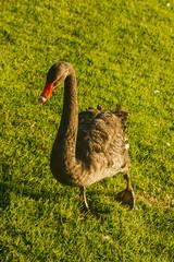 black swan walking across lawn