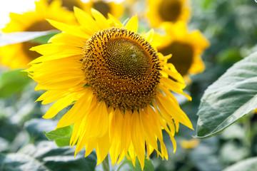 growing blooming sunflowers