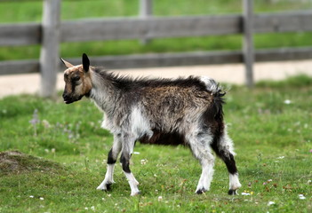 young goat at the farm