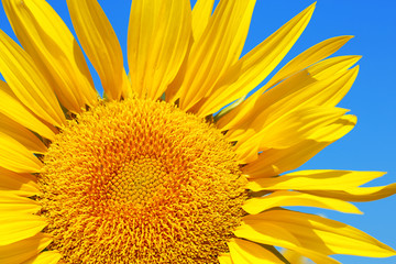 Beautiful sunflower on blue sky background, close up