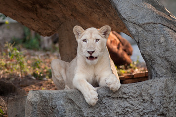 White Lion (Panthera leo) portrait