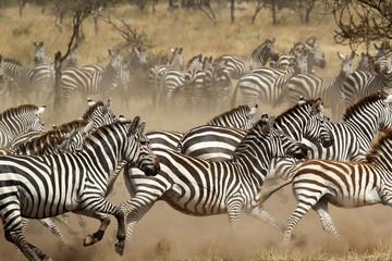 Herd of zebras gallopping Wall mural