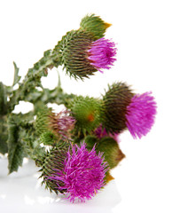 Thistle flowers isolated on white