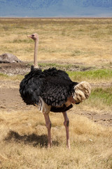 Ostrich In Africa