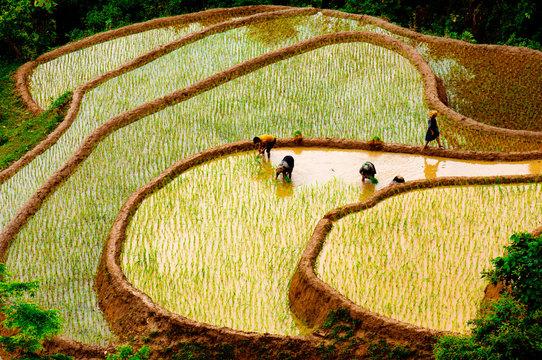 Rice fields of terraced in Vietnam