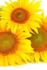 Sunflowers close-up