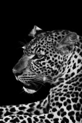 Wall Mural - Leopard