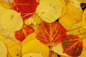 Close up of colorful leafs with fall color