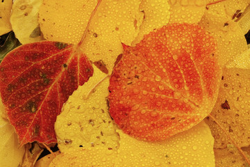 Fototapete - Close up of colorful leafs with fall color