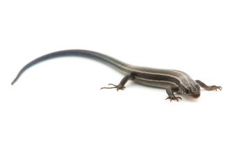 ニホントカゲの仲間-Plestiodon sp.