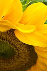 Sunflower petals close up