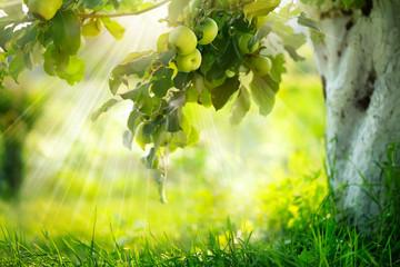 Fotoväggar - Apples on a Branch. Growing Organic Apple