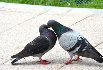 求愛する鳩
