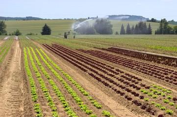 Bewässerung von Salat auf dem Acker 5
