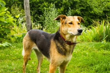 German Shepherd mix dog in garden