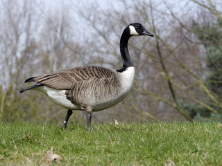 Fotoväggar - Canada goose, Branta canadensis