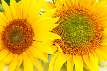 Sunflowers close-up