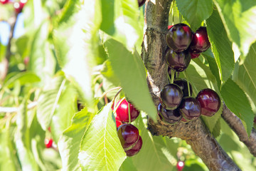 Sweet Bing Cherries on Tree Branch