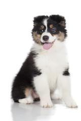 Australian Shepherd puppy on white background