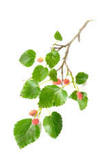 A Mulberry tree branch with green leaves and red fruits isolated on white background