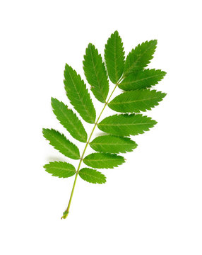 Green Rowan tree leaf, also known as ash tree or sorbus, isolated on white background