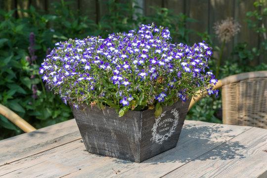 Garden table decorated with blue lobelias