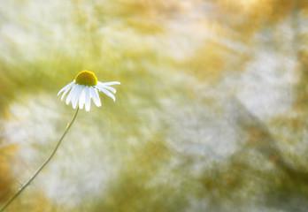 chamomile flower in a summer field