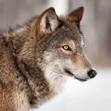 Grey Wolf (Canis lupus) Profile