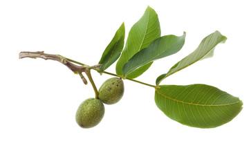 green walnut on twig