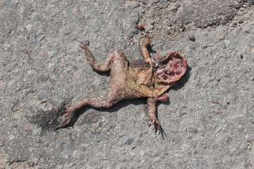 dead toad on road