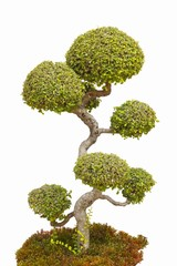 A bonsai tree in isolated.