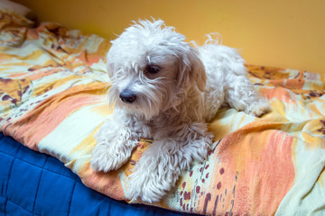 Maltese dog lying on the bed