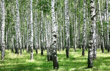 Summer july view of birch grove in sunlight Wall mural