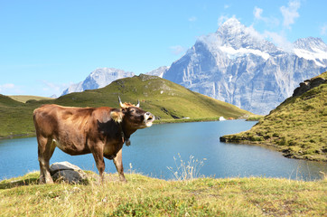 Wall Mural - Cow in an Alpine meadow. Jungfrau region, Switzerland
